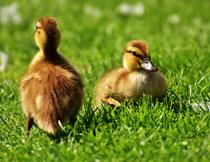 草地上的两只小鸭子高清图片