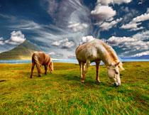 在草地上吃草的两匹马高清图片