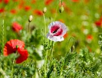 花田里的红色花卉植物高清图片