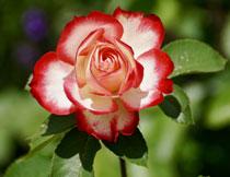 盛开着的月季花卉植物高清图片