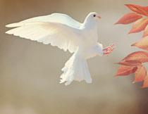 扑棱着翅膀的白鸽特写摄影高清图片