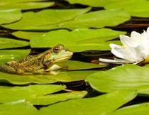 荷塘树叶上的青蛙特写高清图片