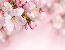 未完全绽放的花朵摄影高清图片