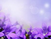 紫色花卉植物特写摄影高清图片