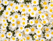 雏菊花丛植物近景摄影高清图片