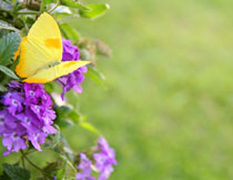 紫色花朵上的黄色蝴蝶高清图片