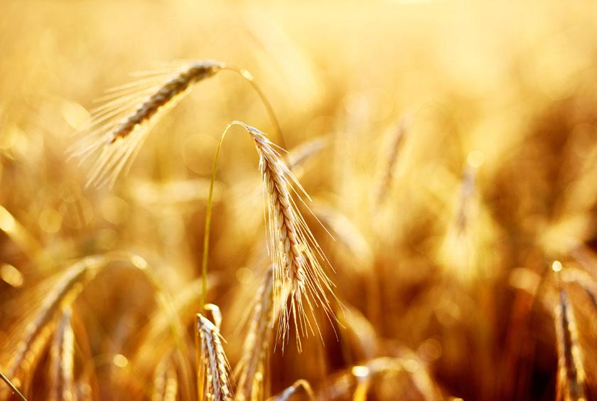 自然风景风光金色阳光光线逆光耀眼小麦麦穗麦田近景特写微距朦胧