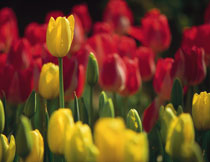 红黄两种郁金香花特写高清图片