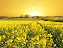 农田与油菜花风光摄影高清图片