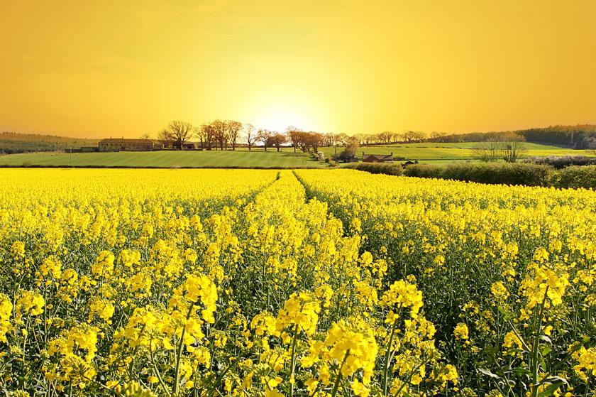 风景风光摄影大图图片高清素材 素材描述: 农田与油菜花风光摄影高清