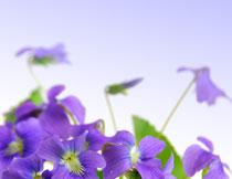紫色鲜花近景特写摄影高清图片