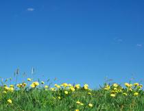 蔚蓝天空花朵草丛摄影高清图片
