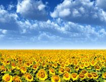 一望无际的向日葵摄影高清图片