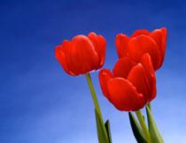 红色的郁金香特写摄影高清图片
