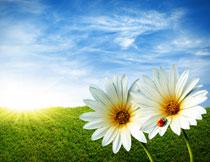 蓝天白云草地花朵摄影高清图片