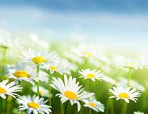 白色菊花近景特写摄影高清图片