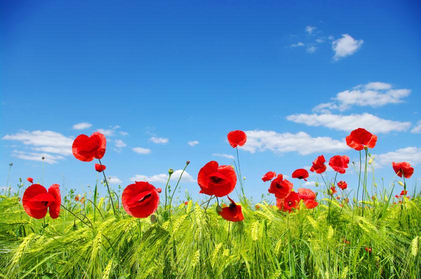 风景风光摄影大图图片高清素材 素材描述: 麦田里的红花风光摄影高清