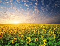 望不到边际的葵花摄影高清图片