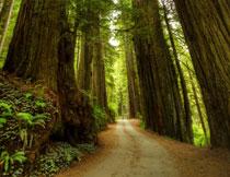 路两旁的参天大树摄影高清图片