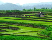 在田间插秧的农民摄影高清图片