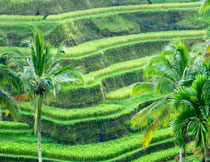 阶梯式的稻田风光摄影高清图片