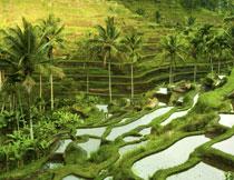 椰树与在梯田上的水稻高清图片
