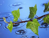 绿叶藤蔓与在水面上的涟漪图片