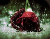 雨中掉到地上的玫瑰花高清图片