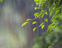 沐浴在雨中的绿叶摄影高清图片