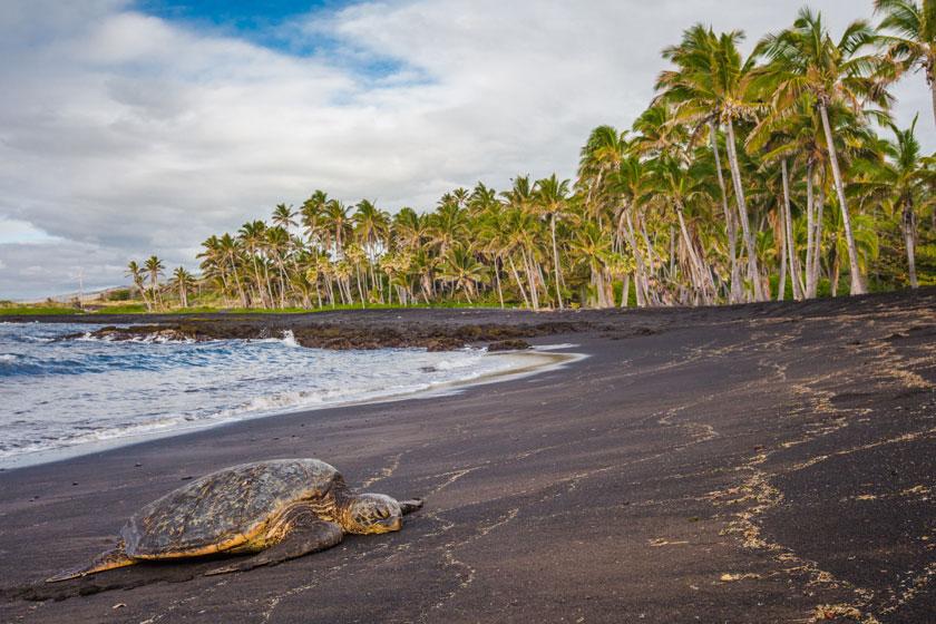 大海椰树与体力不支的海龟图片