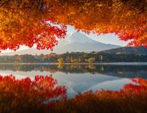 在秋叶映衬下的富士山高清图片