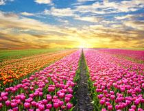 晚霞夕阳下的郁金香花高清图片