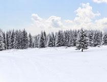 被积雪覆盖的树林摄影高清图片