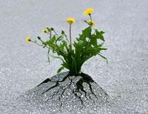 冲破水泥路生长的花卉高清图片