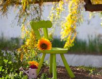 椅子上的葵花特写摄影高清图片