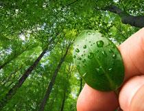 手中带水珠的绿叶摄影高清图片