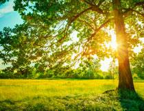 大树草地自然风景摄影高清图片