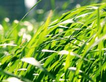 绿色茂密草丛特写摄影高清图片