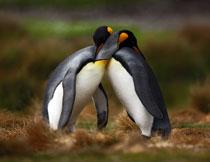 两个抱一起的企鹅摄影高清图片