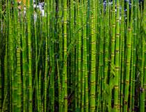 紧密生长着的竹子摄影高清图片