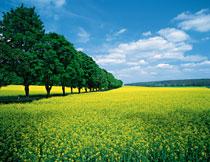 蓝天白云大树农田风光高清图片