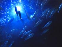 蓝色大海中游动的鱼群高清图片