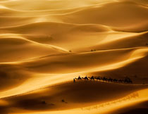 金色沙漠中的骆驼商队高清图片