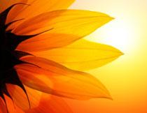 向日葵的花瓣逆光摄影高清图片