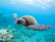 在海底畅游的海龟摄影高清图片