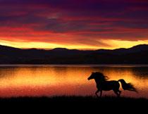 在湖边奔跑的骏马摄影高清图片