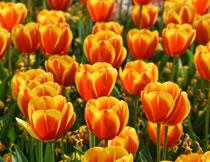 春天里绽放的鲜花摄影高清图片