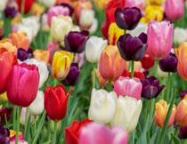 多彩的郁金香花朵摄影高清图片