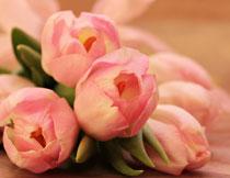粉红的郁金香特写摄影高清图片