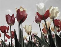 郁金香花草丛逆光摄影高清图片